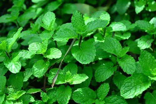 Puthina_mint-medicinal-benefits-updatenews360
