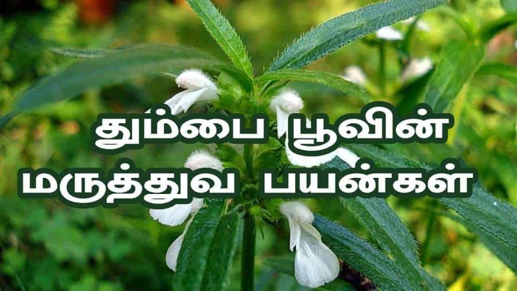 medicinal benefits of thumbai poo