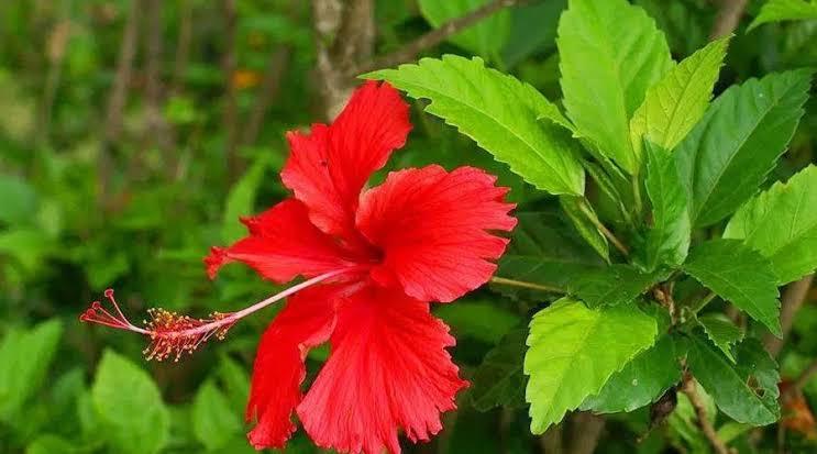 hibiscus-flower updatenews360