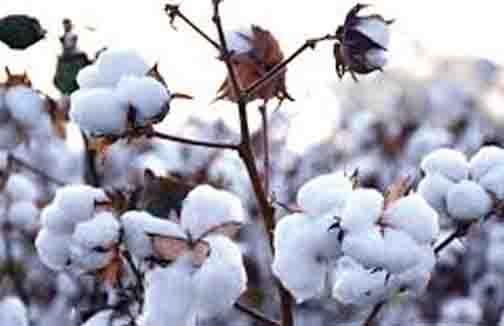 Cotton Rate 1 - Updatenews360