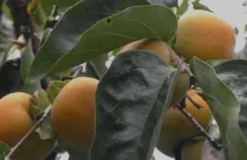 Japan Fruit- Updatenews360