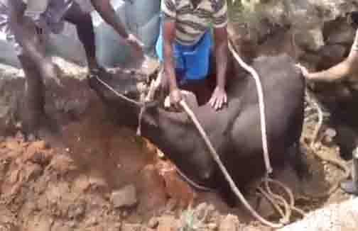 Kanyakumari Cow Rescue - Updatenews360