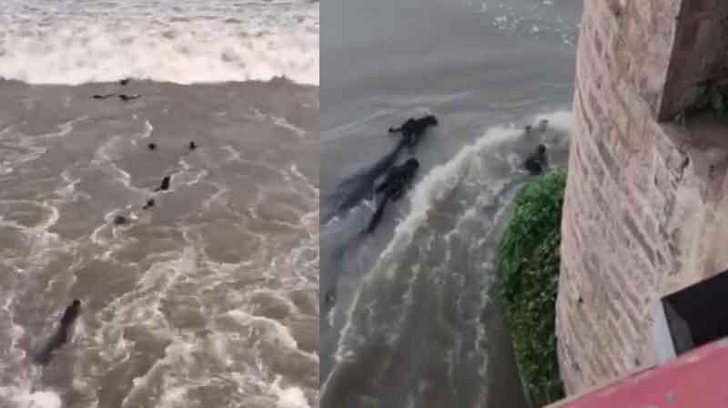 Buffaloes in Flood - updatenews360