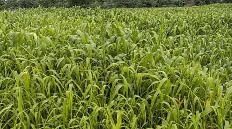Corn - updatenews360