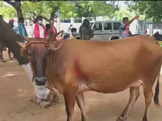 Cow - updatenews360 (1)