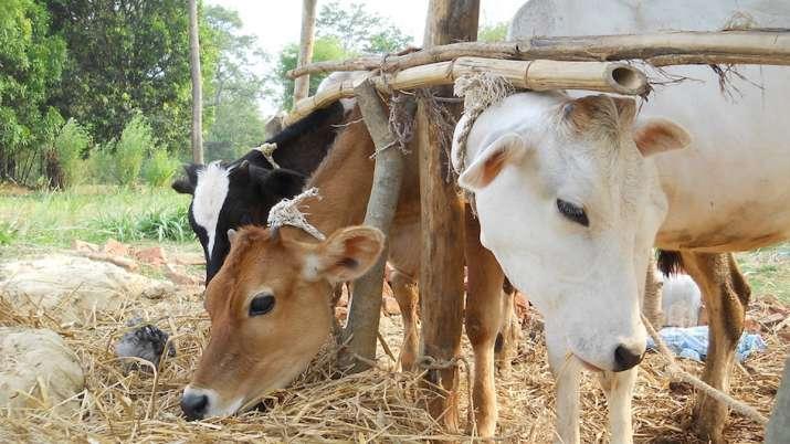 Cows_UpdateNews360