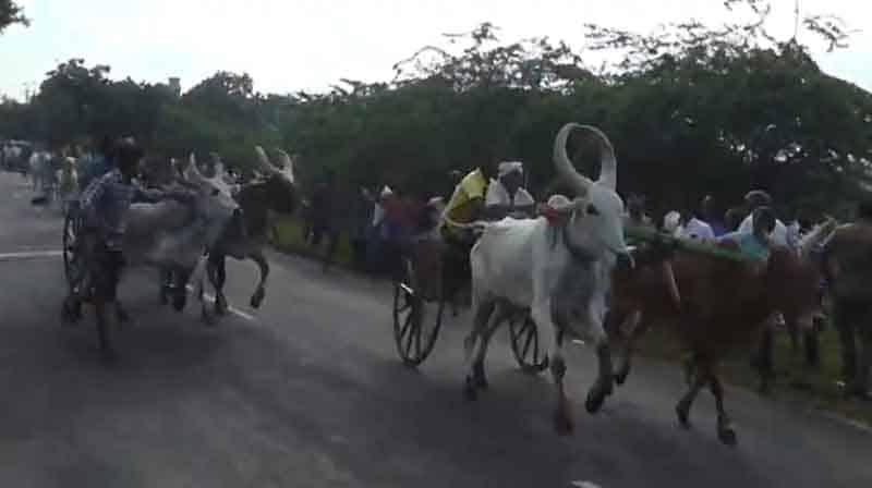 Cow cart Race - Updatenews360