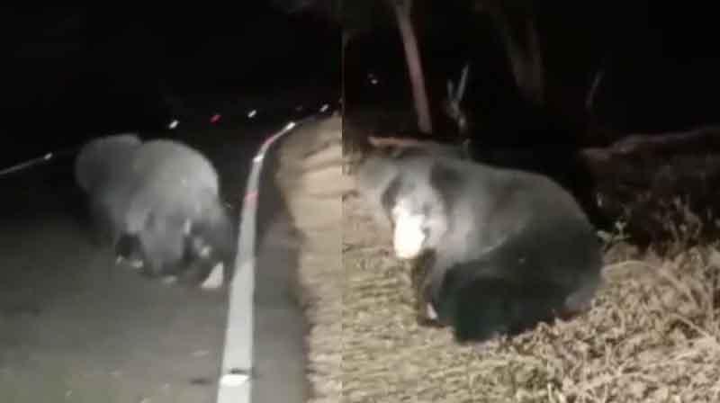 Bear- Updatenews360