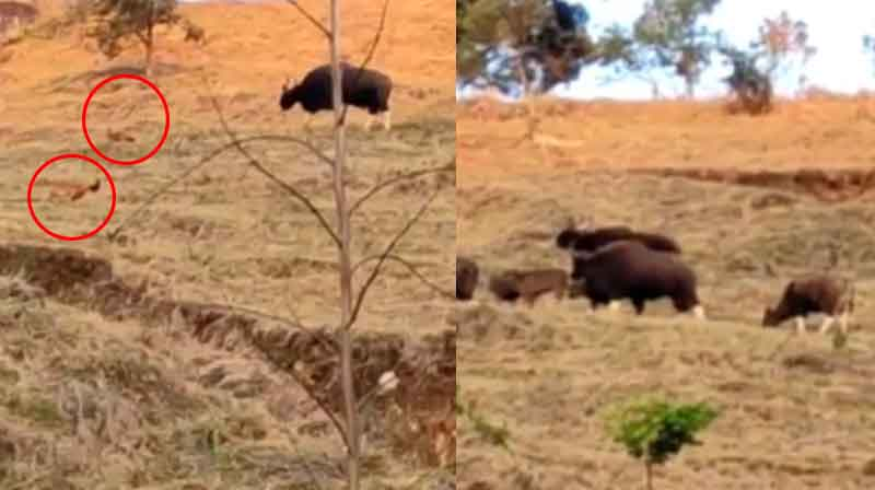Bison Wild Dog -Updatenews360