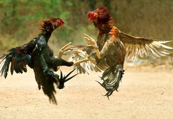 Cock Fight - Updatenews360