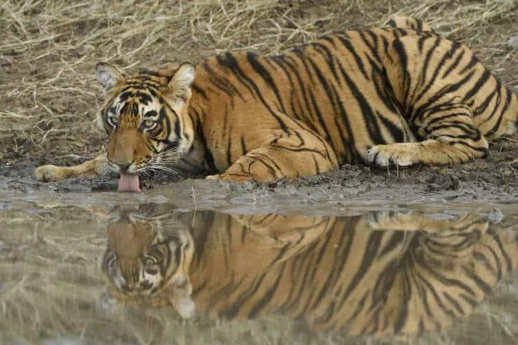 Tiger_Drinking_Water_UpdateNews360