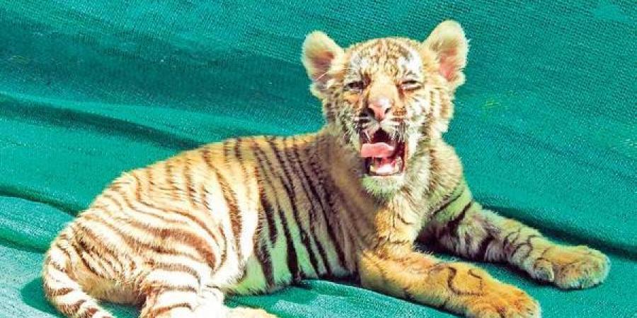 tiger_cub_mangala_updatenews360