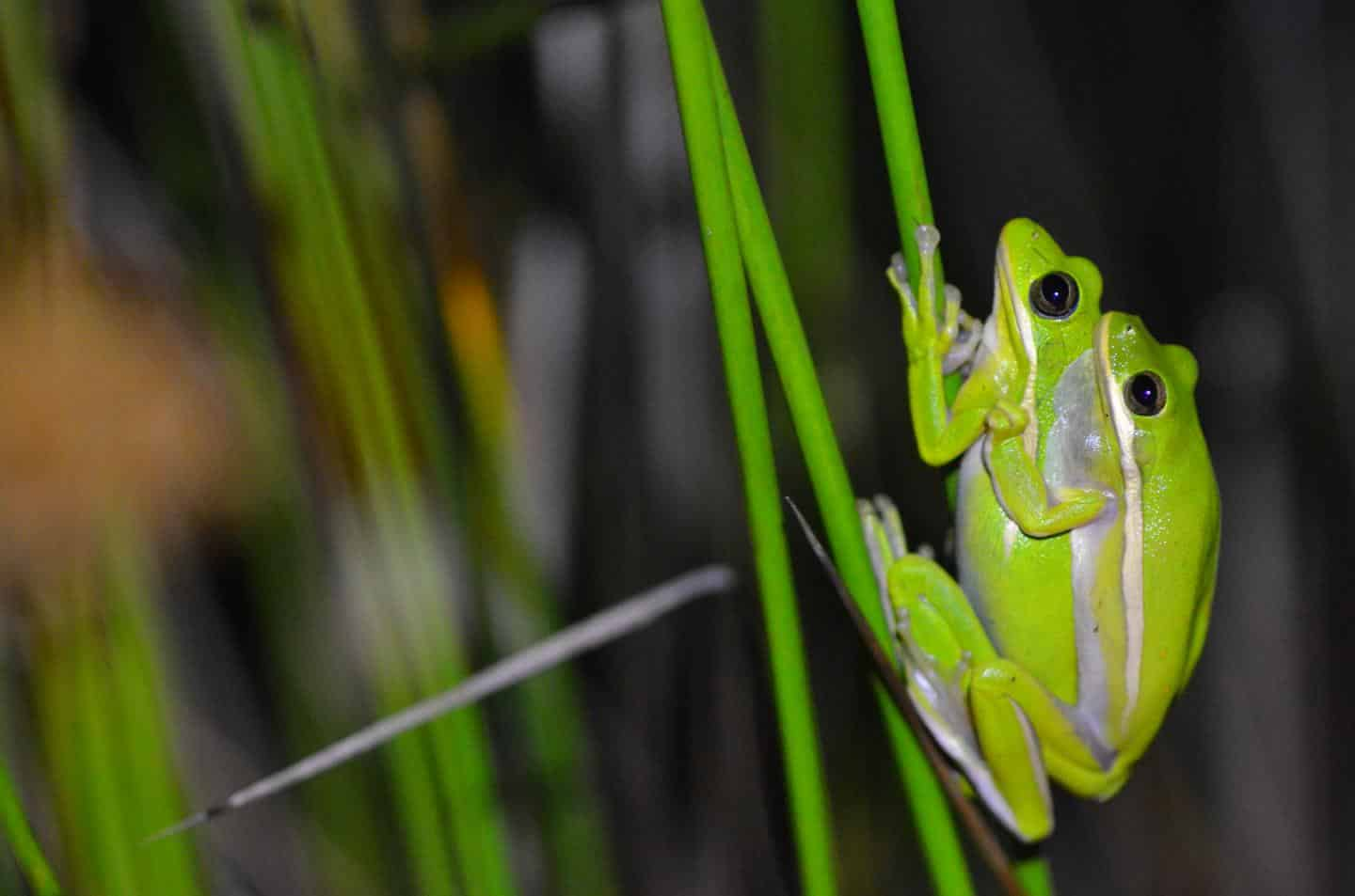 Tree frog has LUNGS which 'act like noise cancelling headphones'