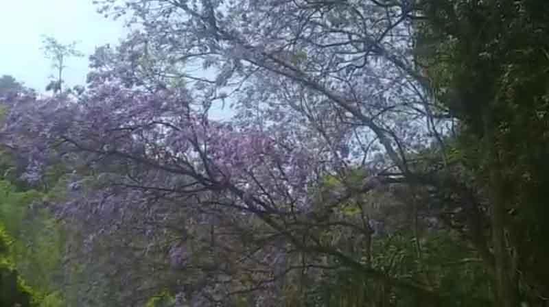 Jagaranda Flowers -Updatenews360