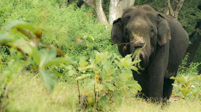 Kodai elephant caught -Updatenews360