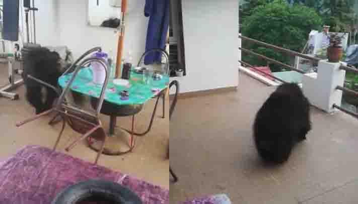 Nilgiri Bear - Updatenews360