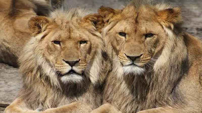 lion corona - updatenews360