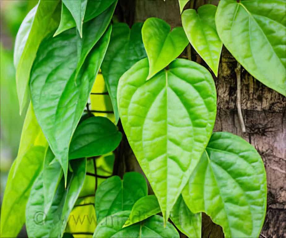 health benefits of eating vetrilai