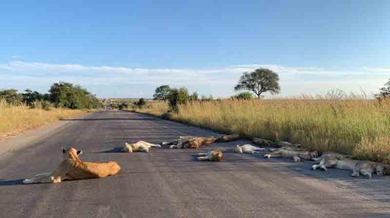 south africa lion - updatenews360