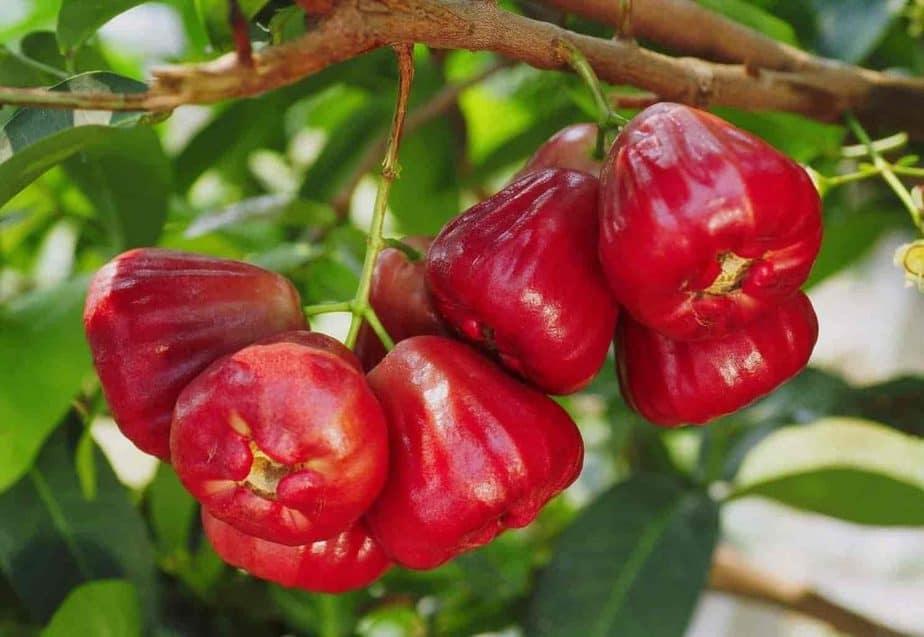 Amazing Health Benefits Of Rose Apple