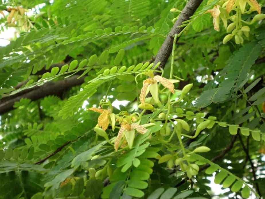 Tamarind Leaves Medicinal Uses Antiseptic Wash Recipe