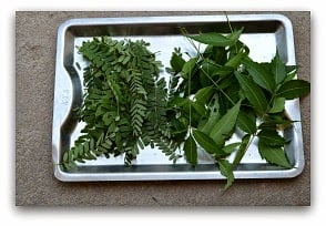 TAMARIND LEAVES MEDICINAL USES: ANTISEPTIC WASH RECIPE FOR CUTS & WOUNDS