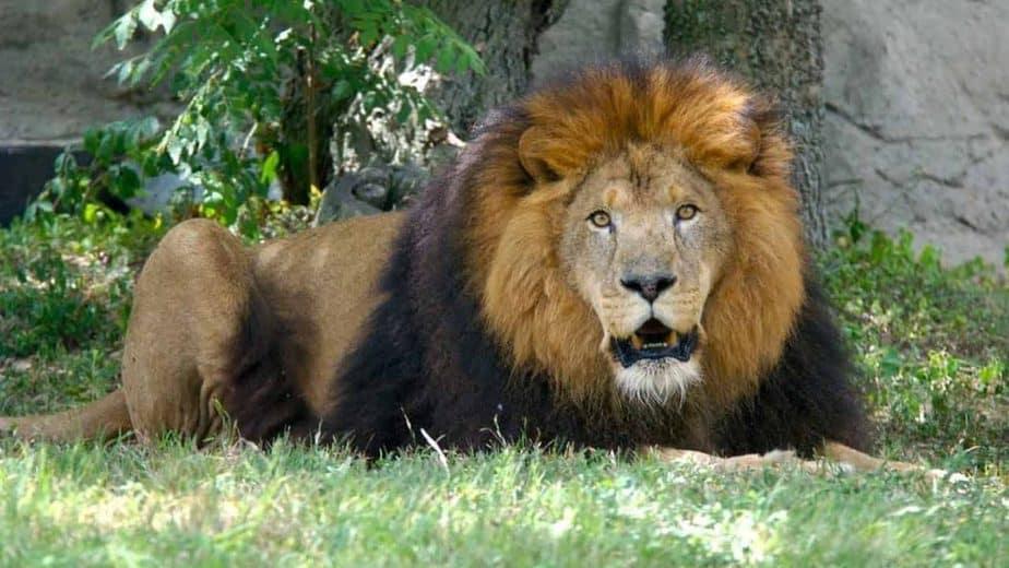 vandalur zoo lion - updatenews360