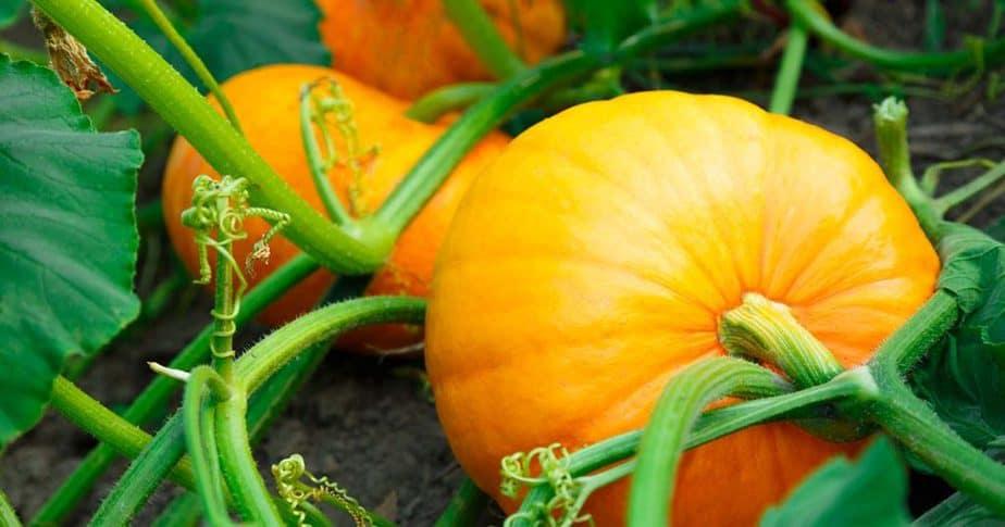 yellow pumpkin beauty tips