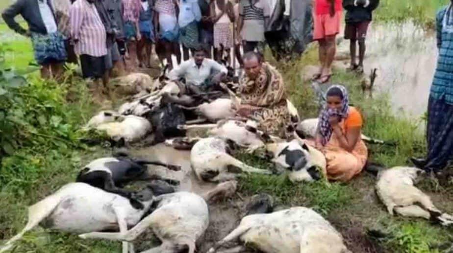 500 Goat Dead- Updatenews360
