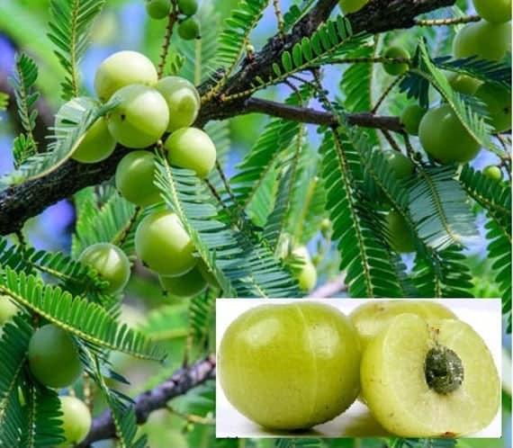 amla beauty benefits in tamil