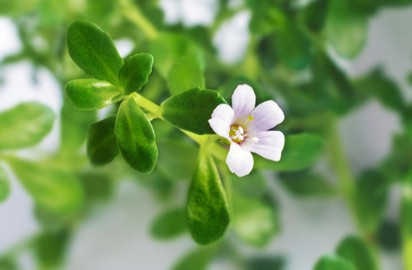 From reducing stress to boosting immunity, here are five health benefits of Brahmi